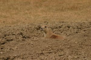 Prarie Dogs by Justateen10