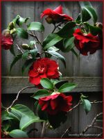 Deep Red Camellias by kayandjay100