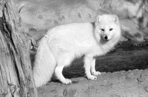 arctic fox by 2lo2fly