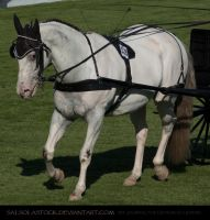Appaloosa Buggy Horse 1 by SalsolaStock