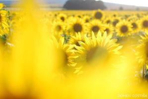 Sunflowers by 2DoMeN2