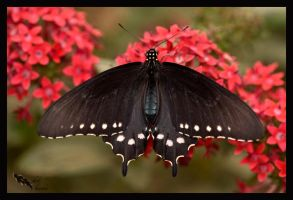 pipevine swallowtail female by chibiharuka