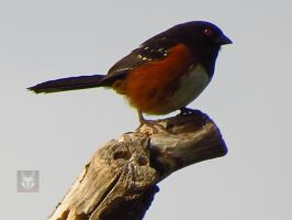 Towhee On A Stump by wolfwings1