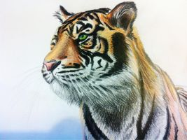 Tiger coloured pencil drawing by Anime-Reality