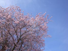Pink Tree - Blue Sky by Lillagon