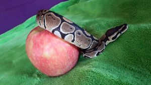 Python with apple 02 by MelieMelusine