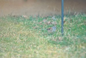 Chipping Sparrow by ShelbyMelissa