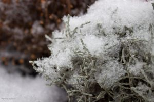 plant covered by blanket of snow by blacky-mo