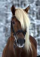 Finnish horse stallion by floCha