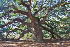 The Angel Oak by druideye