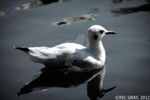 Bird on the Water by RicGrayDesign