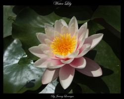 Flower Series - Water Lily by Novastar2486