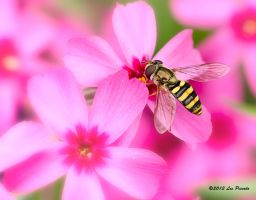 Hover Fly by Les-Piccolo