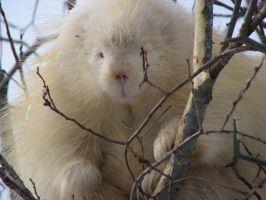 Albino Porcupine by dove-51