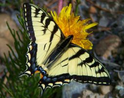Canadian Tiger Swallowtail by ValkyrieX