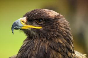 portrait of an eagle_V by deoroller