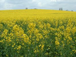 Field of Yellow by Godlesswanderer