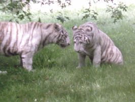 White tiger brothers 6 by Lena-Panthera