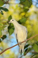 white pigeon by latvys