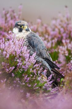 Peregrine Falcon in Heather by joeelway