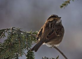White Throated Sparrow by barcon53