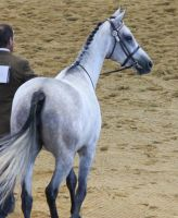 STOCK - Anglo Arabian 8 by fillyrox