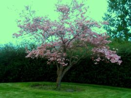 Pink Dogwood Tree by vanessa1775