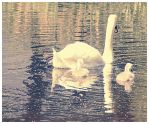 Baby swans! by CrystalGoldfinch