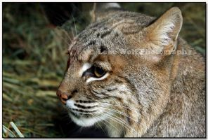 Bobcat up Close  I by LoneWolfPhotography