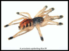 A.avicularia spiderling 2 by KarineMathieu