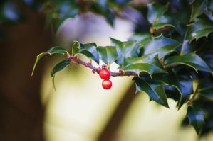 Late Winter Holly 1 by Hertz18360