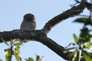 Jungle Owlet by himphotography