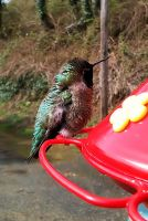 First hummer of the season by m-faccone