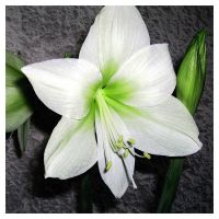 White and Green Amarylis by MurkraD