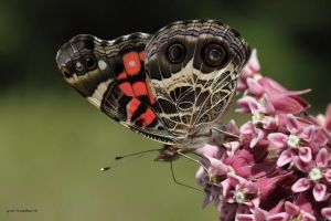 American Painted Lady by natureguy