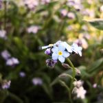 Myosotis sylvatica by Furious--Angel