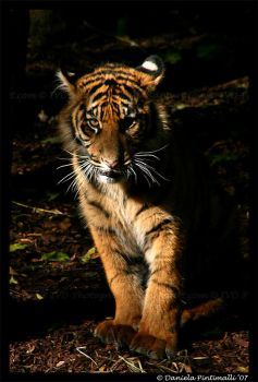 Baby Tiger: Stare by TVD-Photography