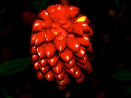 Ginger Flower by AquarianPhotography