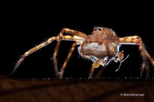 Huntsman spider babies being stalked by assassin by melvynyeo