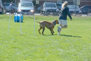 2014 Dog Festival, Agility Contest 4 by Miss-Tbones