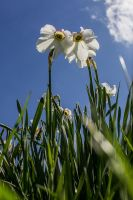 13-05 Narcissus #2 by evionn