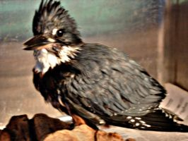 Belted Kingfisher by Aniar