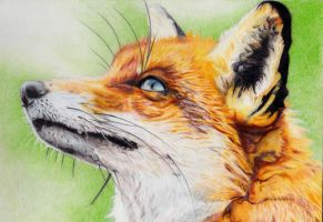 The fox by Alinnela