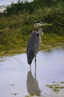 Great Blue Heron by 2753Productions