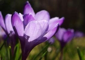 Crocus Meadow by creative-photo-uk