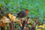 Robin (Erithacus rubecula) by OliverBPhotography