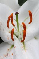 White Lily Close Up by CASPER1830