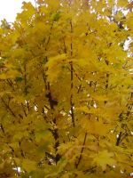 Canadian Fall Colours 11 by Aswang301
