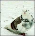 a white and wild pigeon by Kit-KatChunKY