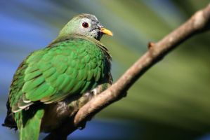 Black Chinned Fruit Dove 01 by 1ASP1